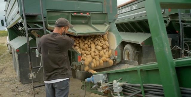 Выгрузка картофеля