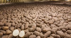В США для поставщика McDonald's одобрили генетически модифицированный картофель