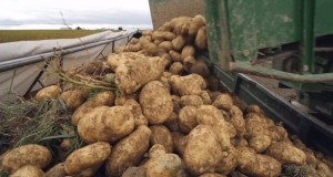 Производство картофеля фри