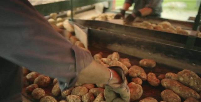 Люди на сортировке картофеля